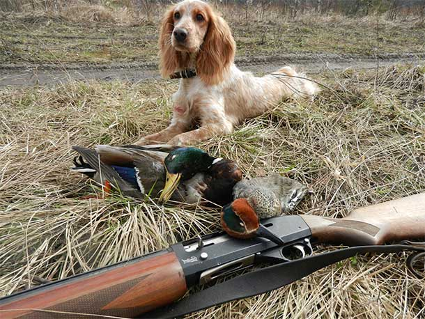 Русский охотничий спаниель