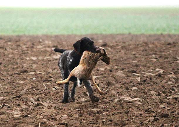 Охота с курцхааром